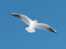 Big white bird fly. On sky Stock Images