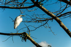 Big white bird heron stood up on a branch of a tree Royalty Free Stock Photos