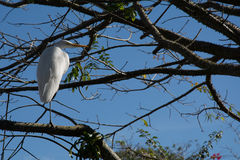 Big white bird heron stood up on a branch of a tree Royalty Free Stock Images