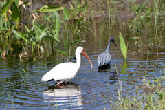A big white bird in the water Royalty Free Stock Photography