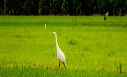 Local white birds, great egret bird walking around organic rice field and watching for food, little insects and shell. Big white birds, Great egret bird walking stock images