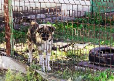 Big white and brown beautiful the dog behind the fence royalty free stock image
