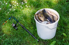 Big white bucket many fish and rod lying in grass Royalty Free Stock Photo