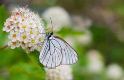 Big white butterfly Stock Images