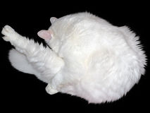 Big white cat Stock Image