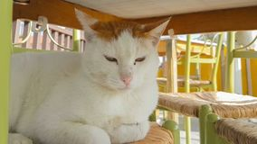 Big white cat on a chair. stock video