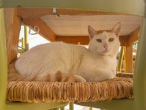 Big white cat portrait sitting on a chair Royalty Free Stock Photo
