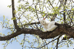 Big white cat sitting on a tree. And is looking out for what is at the bottom on a background of blue sky in spring. Spring in Japane Royalty Free Stock Photo