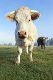 Big white cow in a field Royalty Free Stock Photography