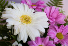 The big white daisy flower Royalty Free Stock Photo