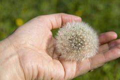 Big white dandelion Stock Photography