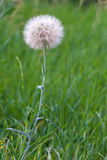 Big white dandelion. White dandelion on a green meadow close up stock image