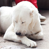 Big white dog Alabai Royalty Free Stock Images