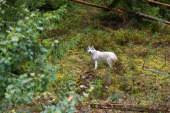 Big white dog in the forest Stock Photography