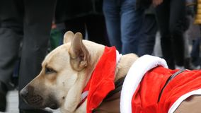 The big white dog of a homeless beggar lies in a funny Santa Claus costume, people pass by. The big white dog of a homeless beggar lies in a funny Santa Claus stock video footage