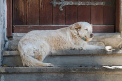 Big white dog. The big white dog lies in a shadow on steps before a wooden door stock photo