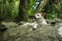 Big white dog on the rock in rain forest Royalty Free Stock Photo
