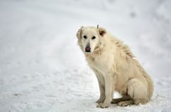 Big white dog in the snow. Big white shepherd or guard dog in the snow Stock Photo