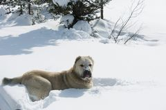 Big white dog for a walk in the woods Stock Image