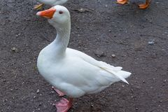 Big white duck royalty free stock photography