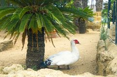 Big white duck under the small palm tree, summer royalty free stock images