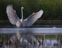 Big white egret Egreta alba spreading wings Stock Photo