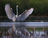 Big white egret Egreta alba spreading wings. In the swamp Stock Photo