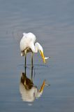 Big white egret (egretta garzetta) Royalty Free Stock Images
