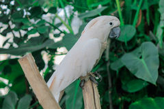 Big white exotic parrot. Royalty Free Stock Images