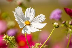 Big white flower at morning time with blurred background in the garden. Stock Image
