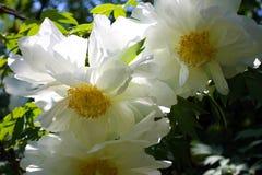 Big white flowers of Paeonia suffruticosa. Close-up of white flowers of Paeonia suffruticosa Royalty Free Stock Photo