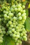 Big white grape cluster. Closeup Stock Photos
