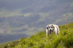 Big white grown clever shepherd dog standing on steep green grassy mountain slope on sunny summer day on copy space background of. Wide panorama of dark green royalty free stock photo