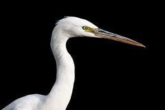 Big White heron Stock Photos
