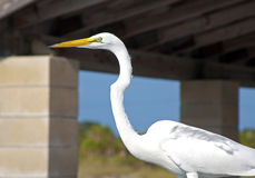 Big white heron bird. Close up at a beach, on a sunny summer day, Clearwater Beach, Florida, USA Stock Images