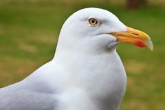 Big white herring gull bird Stock Images