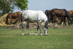 Flock of horses grazing in the field stock photos