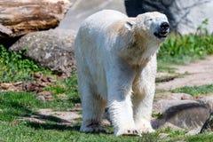 Big white icebear on a green background. Big white icebear on green background stock photography