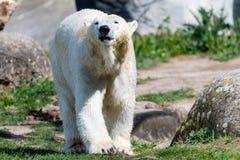 Big white icebear on a green background. Big white icebear on green background stock image