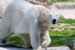 Big white icebear on a green background. Big white icebear on green background stock images