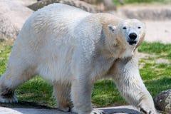 Big white icebear on a green background. Big white icebear on green background royalty free stock photos