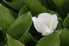 Big white lily Stock Image