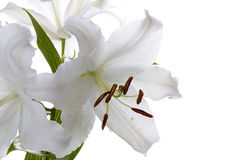 Big white madonna lily Stock Photography