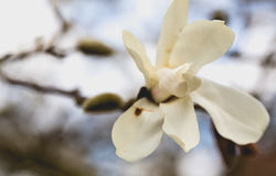Big white magnolia flower on faded branches background Royalty Free Stock Photo