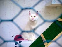Big white maine coon cat sitting in own aviary stock photo