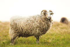 Big white male sheep standing in grass. With big horns Royalty Free Stock Photo