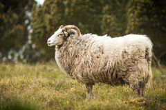 Big white male sheep standing in grass Royalty Free Stock Images