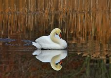 Big White Mute Swan reflection. The White Swan was floating on the local pond on an early autumn morning. The water was calm and glassy. The swans reflection was royalty free stock image