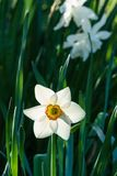 Big white narcissus at morning time with blurred background in the garden. Big white narcissus at morning time with blurred background in the garden Royalty Free Stock Images