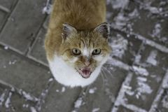 A big white-orange cat screams with its mouth wide open against the background of a road with snow stock photos